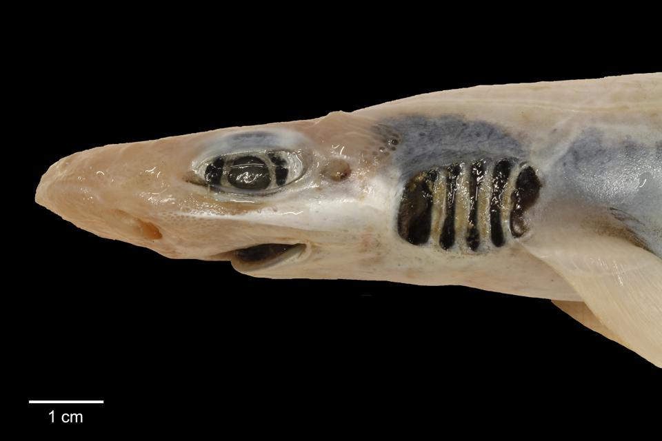 The blackmouth catshark (Galeus melastomus) without skin-related structures.