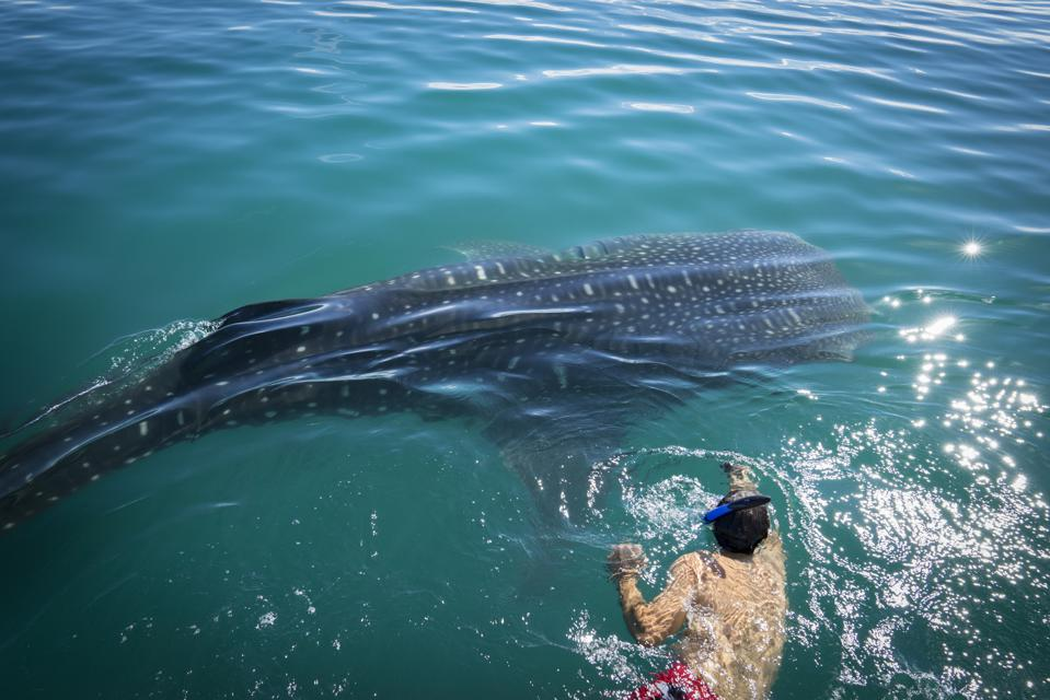 A young swimmer near a small whale shark