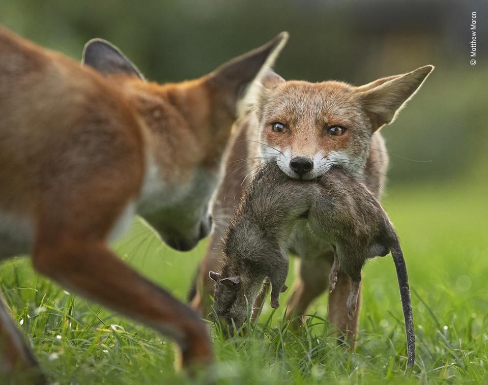 Young foxes fighting for a brown rat.
