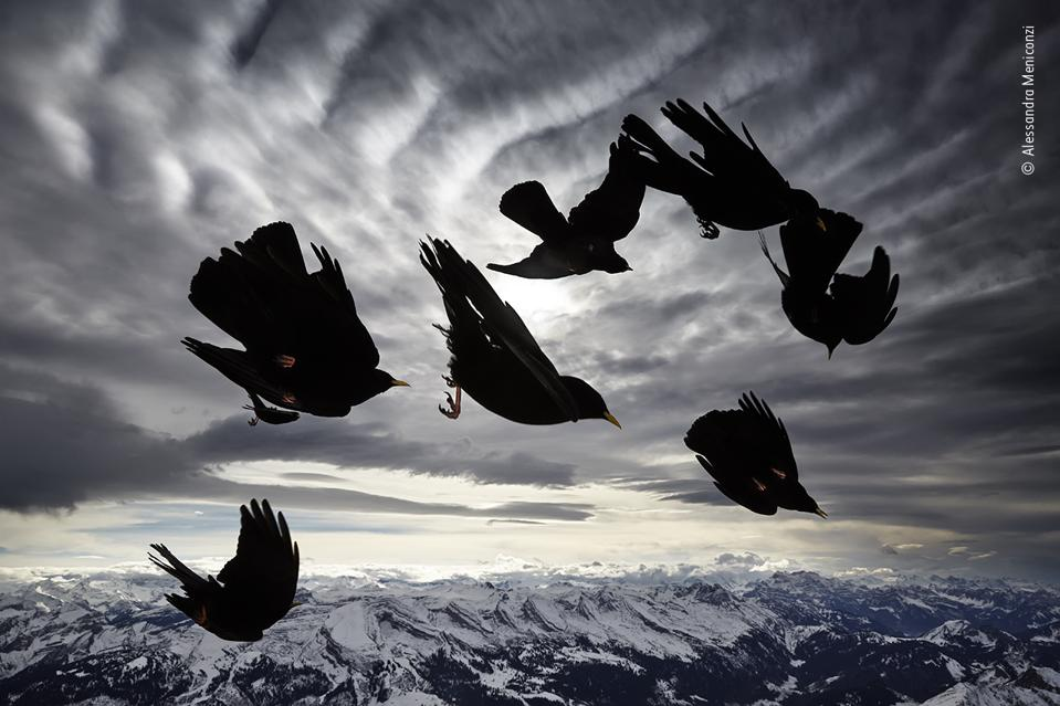 Yellow-billed Chough birds blasted by the wind.