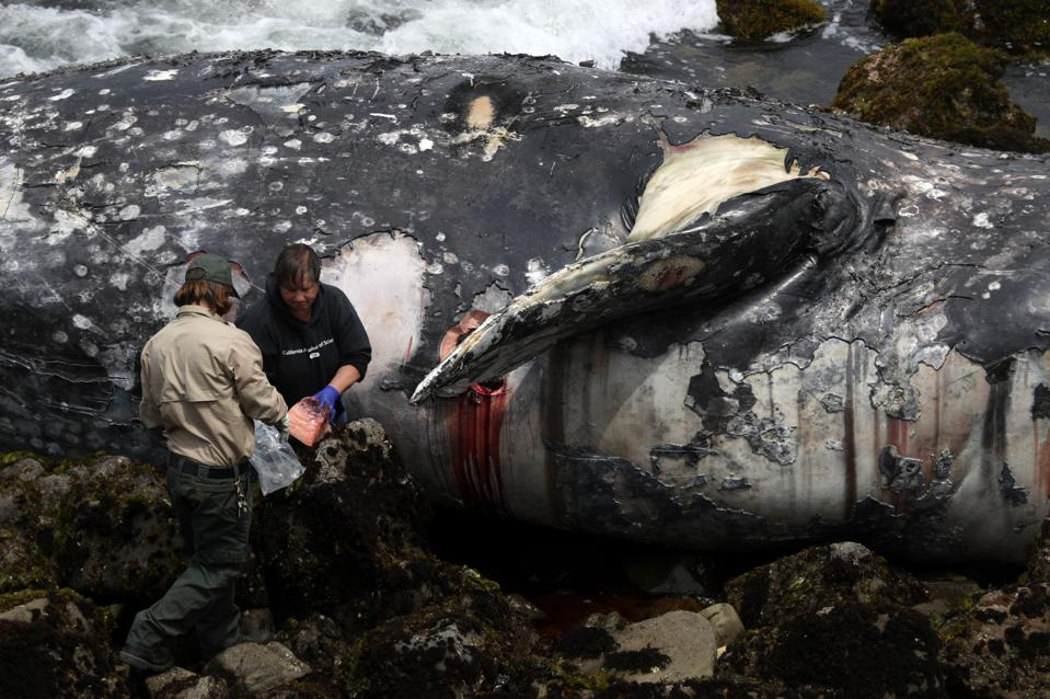 Dead Whale Found On Bay Area Beach In California, 10th Since March