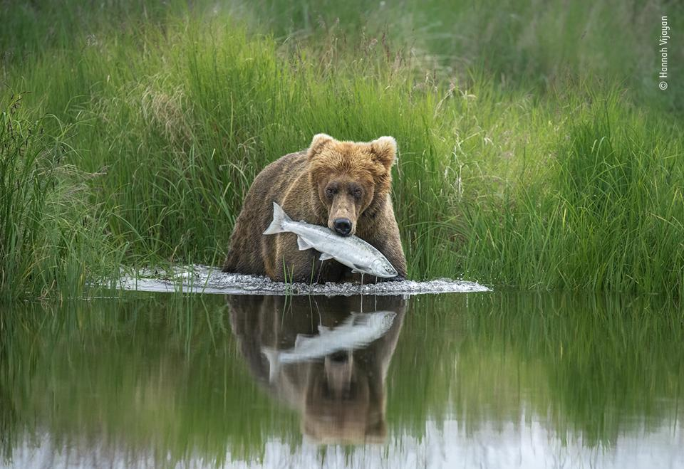 A brown bear pulls a salmon from a river
