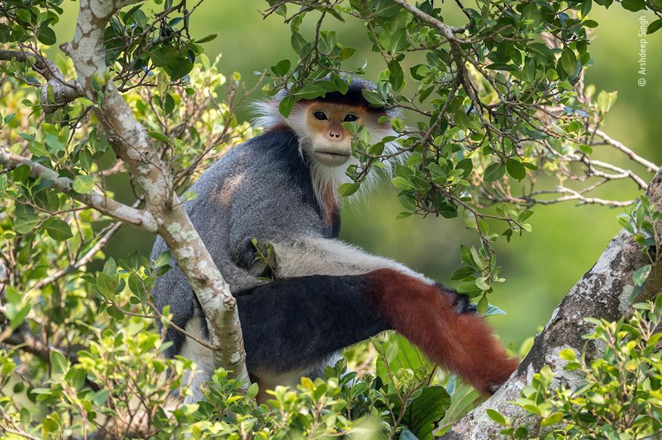 Treetop Douc, endangered specie, Vietnam