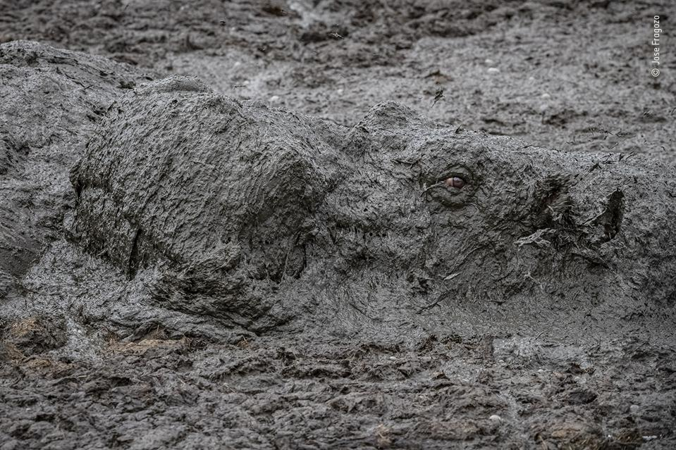 An hippopotamus emerges from a mud pool.
