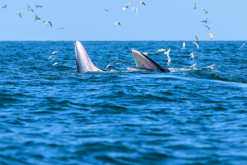 Omura Whales were identified off the coast of Sri Lanka in 2017 for the first time