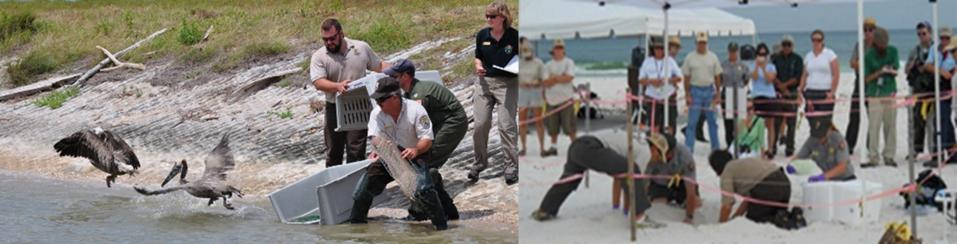 2010: as part of Deepwater Horizon restoration, it was critical to get early projects going, such as this cleaned bird release and sea turtle nest relocation