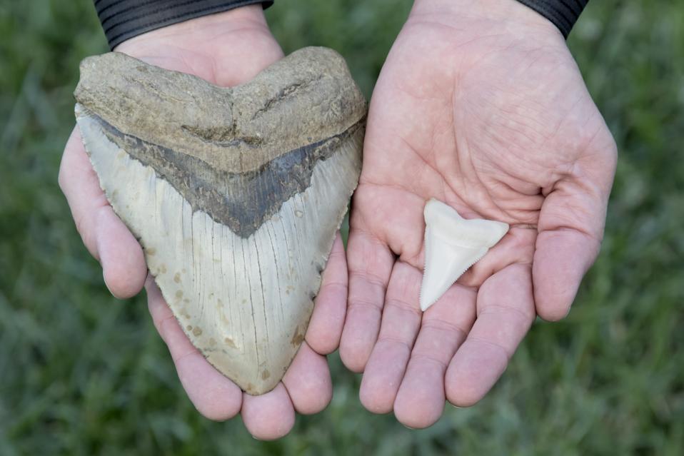 Megalodon Tooth VS Great White Shark