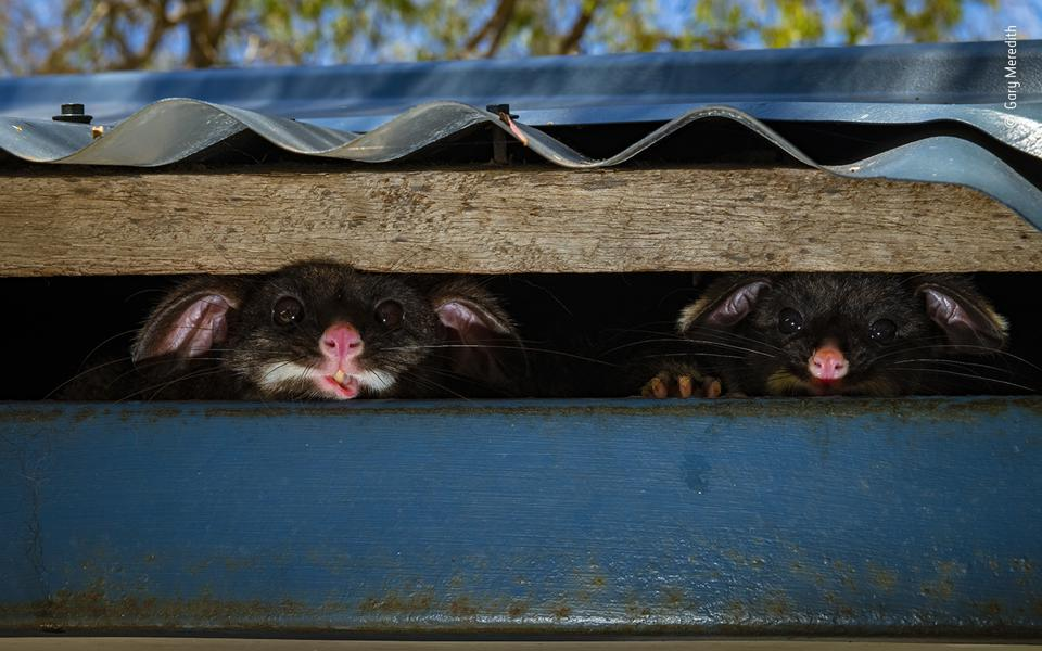 Two common brushtail possums – a mother and her joey – peek out of their hiding place.