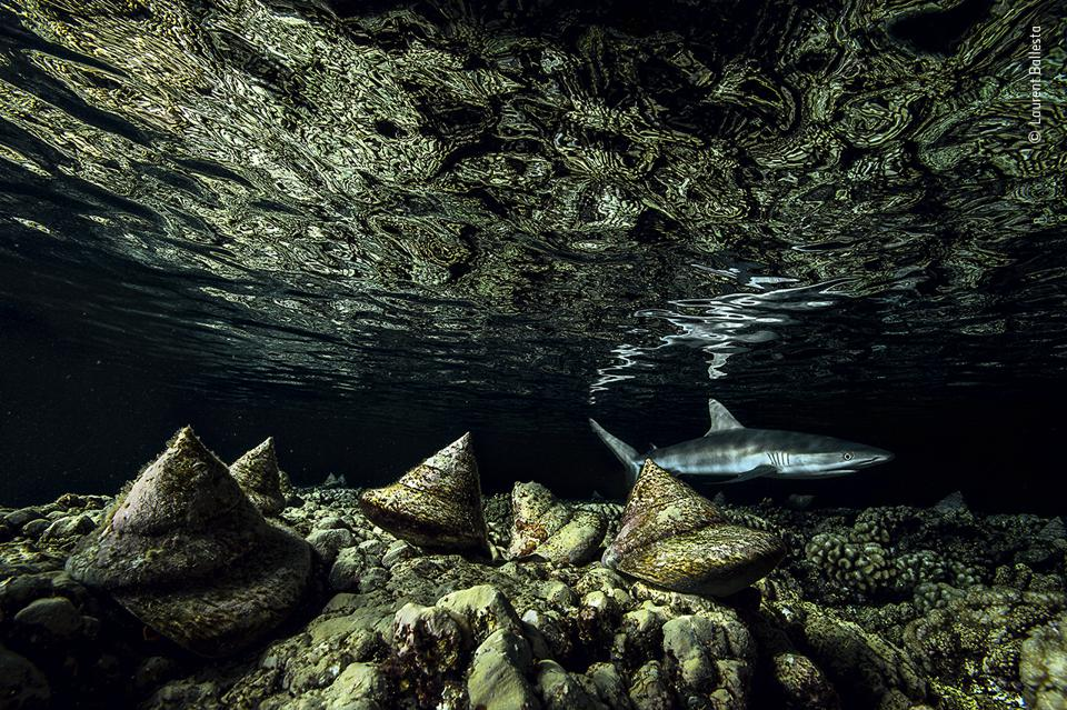 Giant molluscs in French Polynesia and hungry sharks.