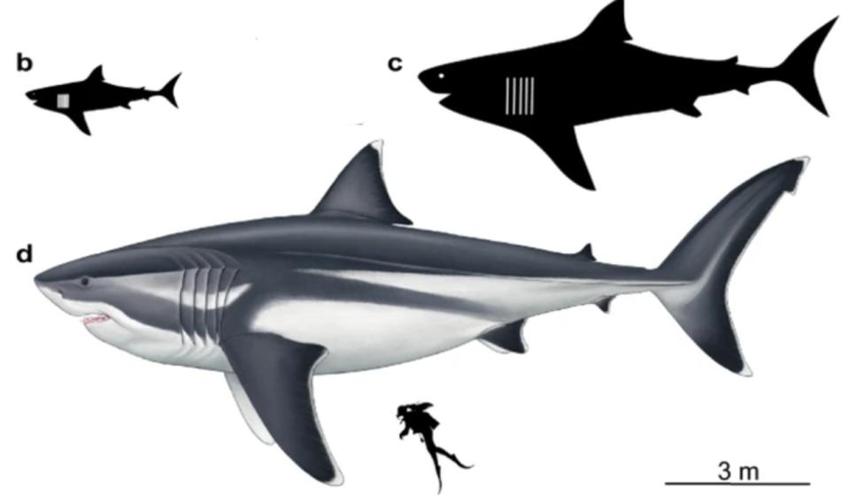 O. megalodon growth stages scaled against a 5.4 feet (1.65 m) human (illustration by Oliver E. Demuth).