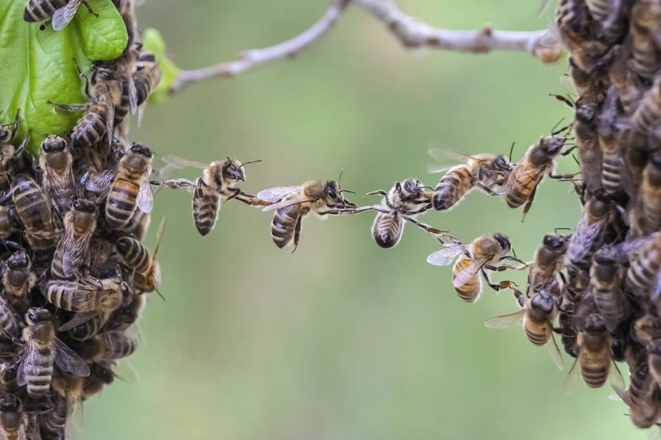 Trust in teamwork of bees bridging two bee swarm parts