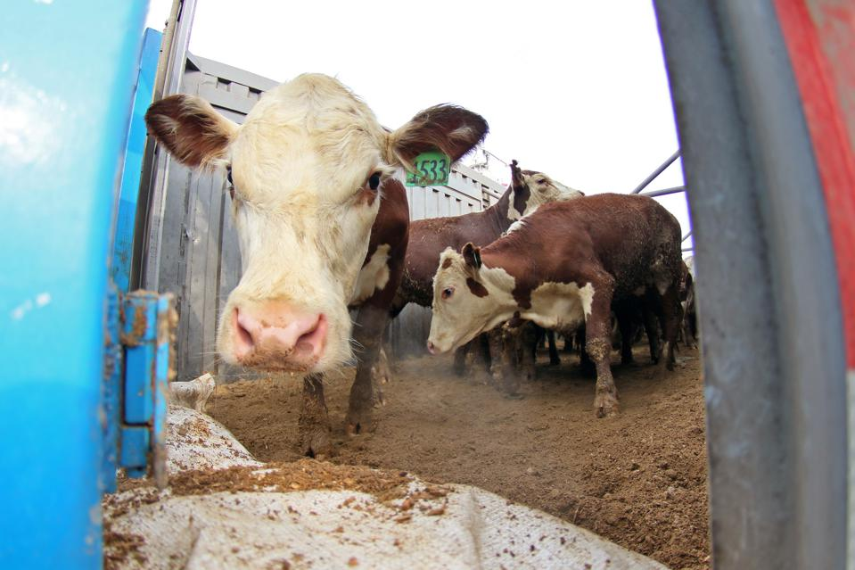 Cattle Imported From Shandong Port