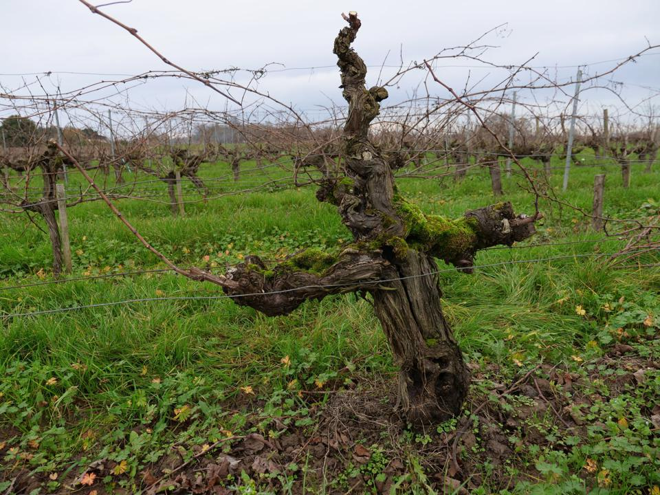 An old vine Petit Verdot at one of Château Belle-Vue vineyards in Bordeaux, France
