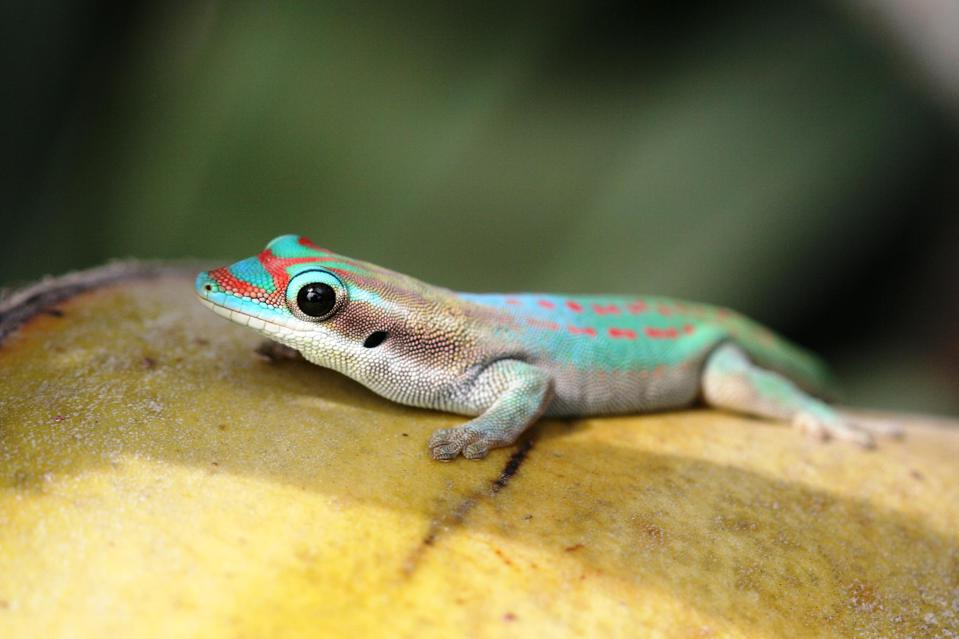 Unique colors of the geckos, a type of lizard that can see in 300 times more color than humans, found only in Mauritius