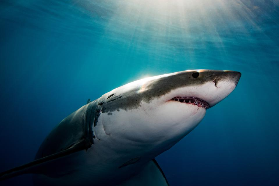 Great White Shark With Sun Above