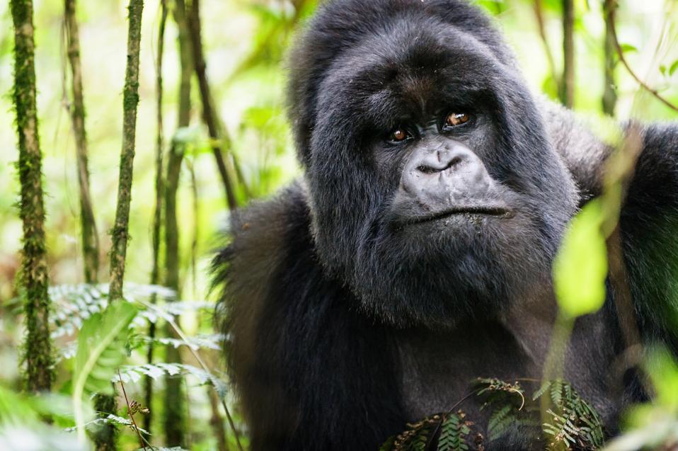 Portrait of a Silverback Gorilla - Munyinya of Hirwa, Rwanda