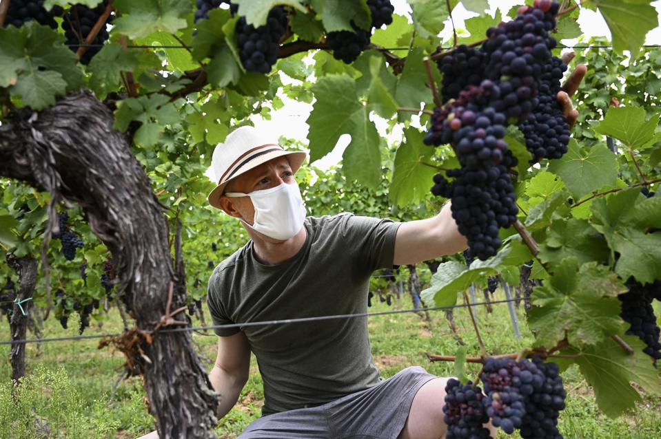 A grape picker harvesting grapes in Molsheim, in Alsace, eastern France