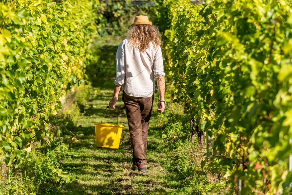 The annual harvest at Breaky Bottom vineyard in Lewes, England.
