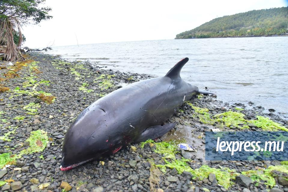 Within 48 hours of the Wakashio being sunk in an unknown location off the coast of Mauritius many dead dolpins and whales started washing up along the shores of Mauritius.  Seen here: dead melon-headed whale on 26 August 2020 in Grand Sable, Mauritius.