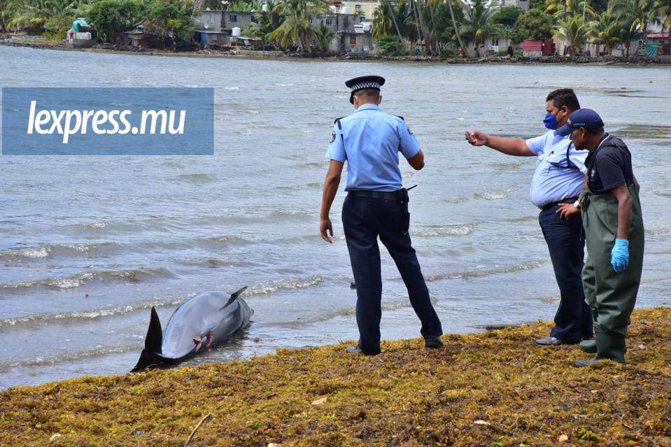 26 August 2020: Mauritian police and fisheries official around one of the 49 dolphins and whales that washed up in South East Mauritius days after the sinking of the Wakashio.
