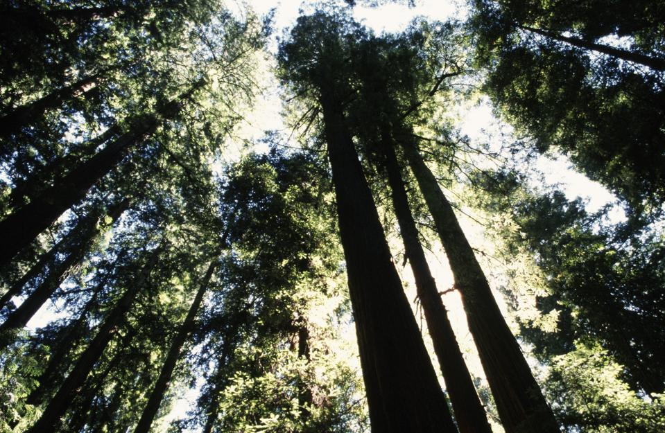 The Anderson Valley Brewing Company suggests travelers visit the redwoods at California's Hendy Woods State Park and enjoy one of the brewery's gose beers. (Photo by George Rose/Getty Images)