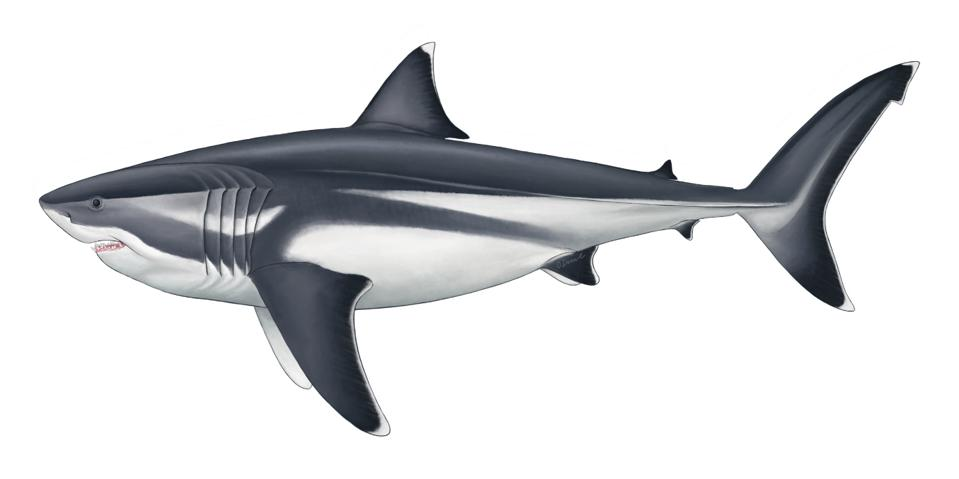 A Megalodon drawing