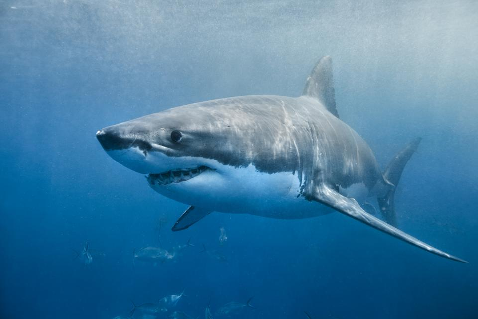 A great white shark swimming with a slight smile on its face just below the surface.