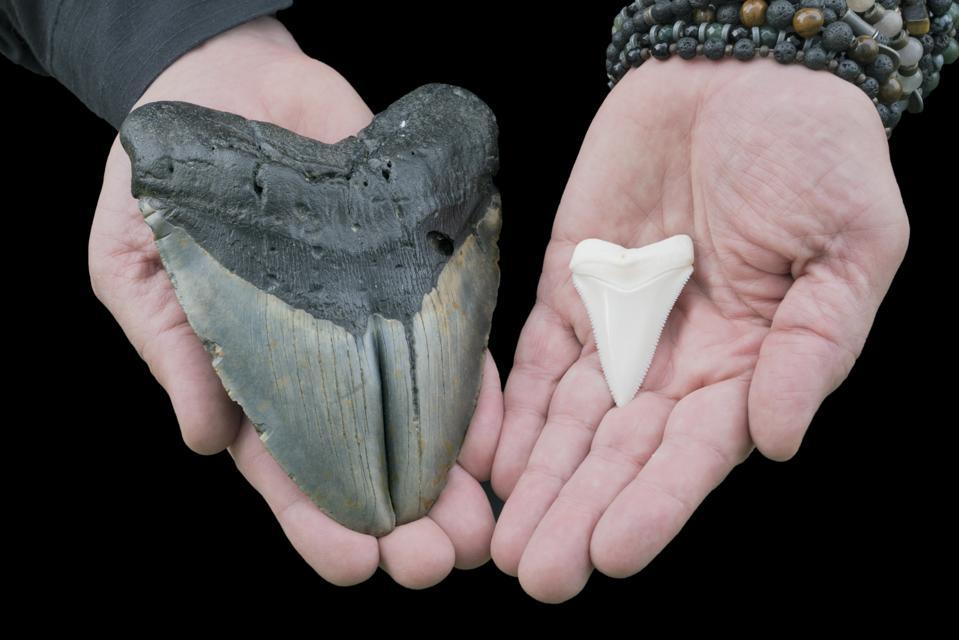 Large Megalodon Gemination VS Great White Shark Tooth