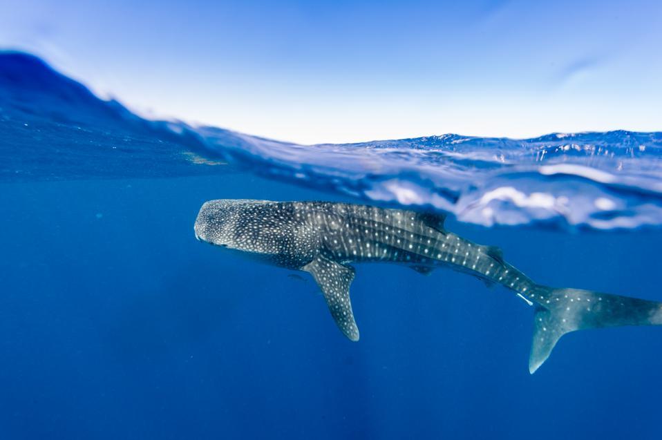 Whale Sharks in Western Australia