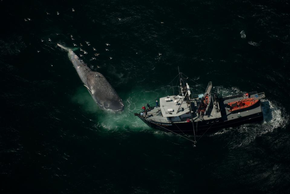 A small research vessel sits below and perpendicular to the head of a blue whale