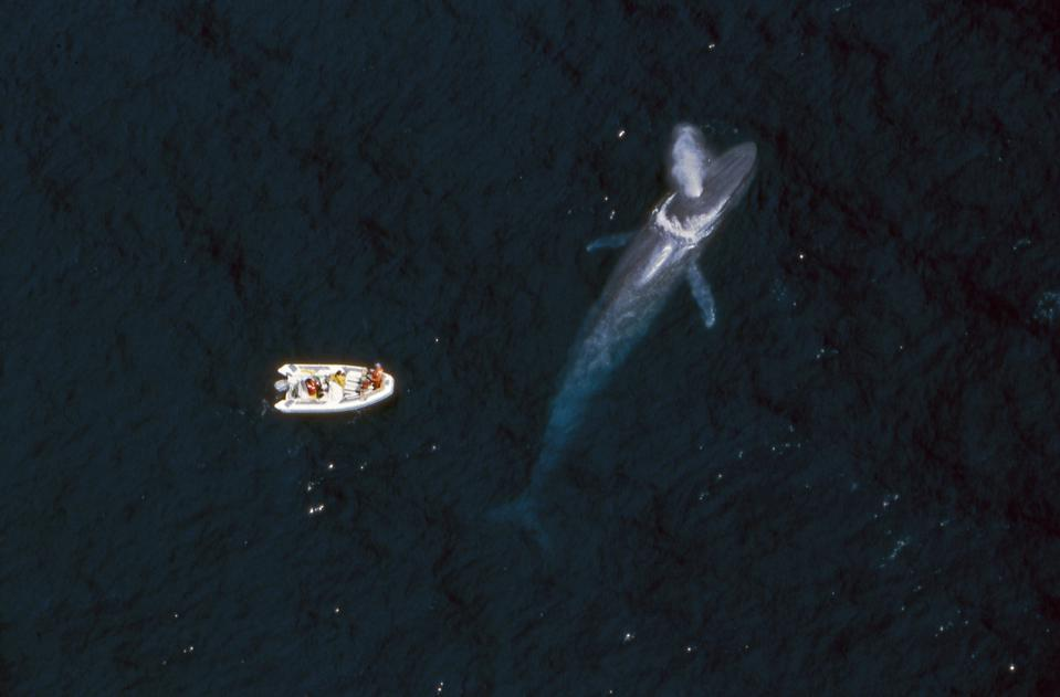 A small research boat is left of an enormous blue whale that is spouting water