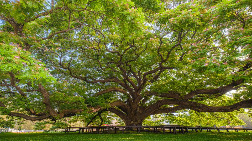 Low angle view of Sunny Canopy of a Huge Tree
