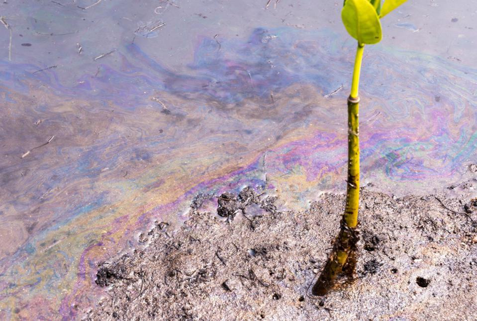 Toxic, chemical-laden oil from the Wakashio seen in the muddy silt around new roots of Mangrove trees in the protected Anse Jonchée forest 6 miles North of the ship crash site and an important fish spawning ground.