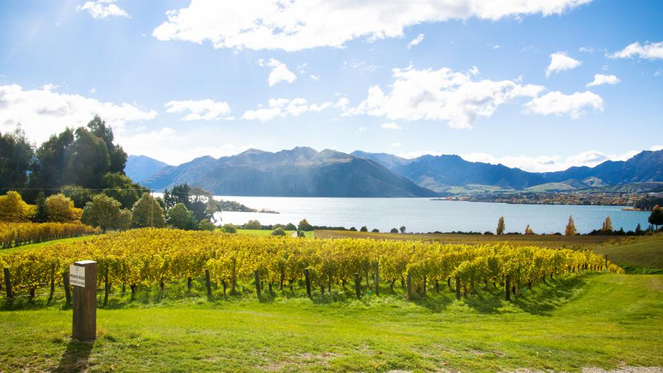 Rows of grapevines in a vineyard, in Autumn, Lake Wanaka