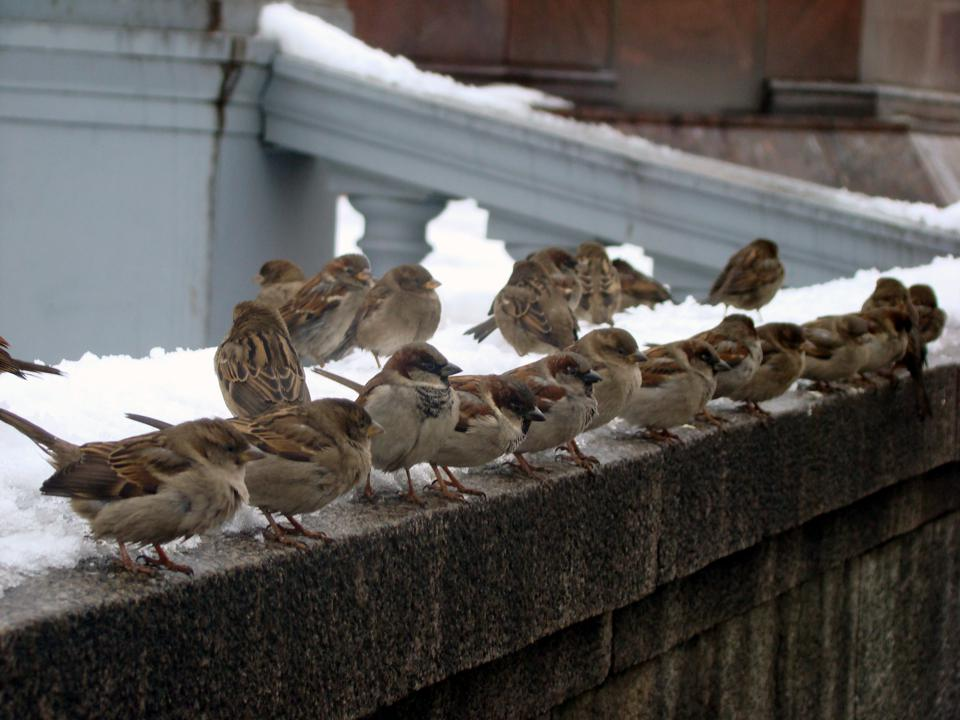 House sparrow flock Passer domesticus credit Andrey
