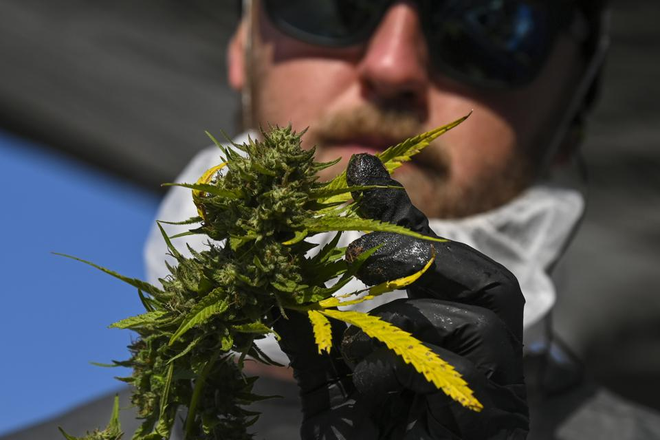 Michael Anderson trims cannabis leaves from the plants' flowers at Maryland's first legal outdoor marijuana harvest