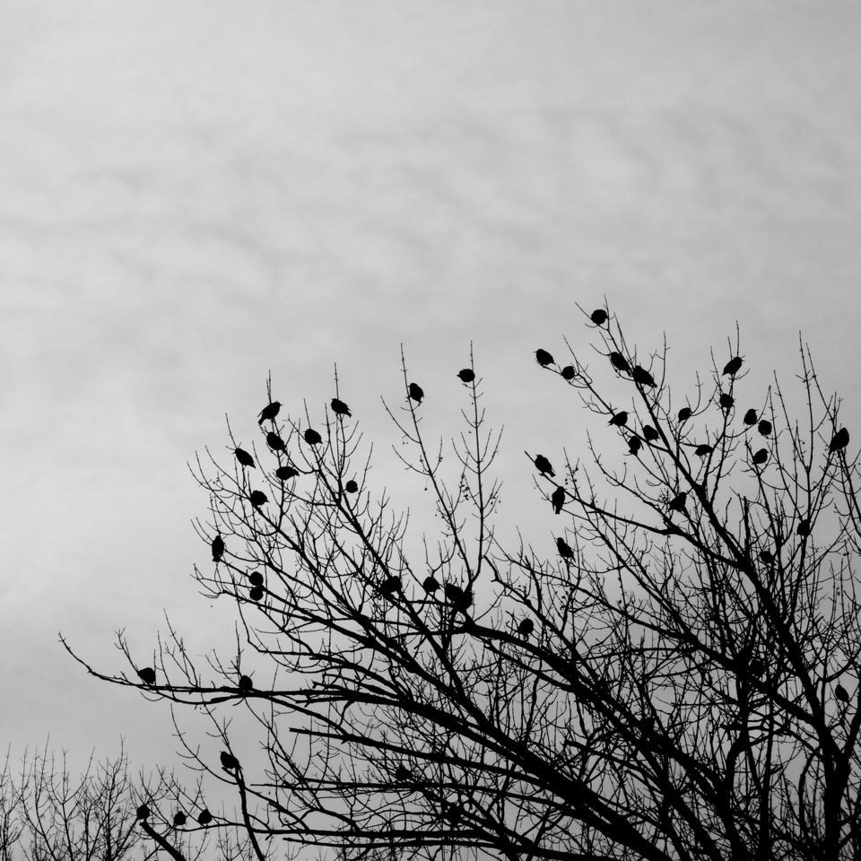 Starlings in a tree credit john beetham. CC BY NC SA 2