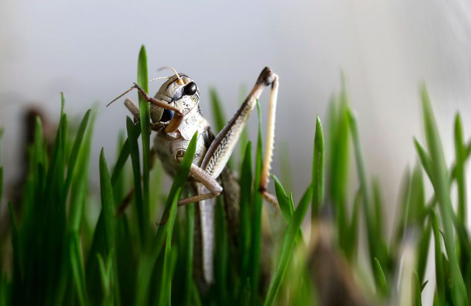 A grasshopper eats wheatgrass at a breeding farm before becoming sustainable human food