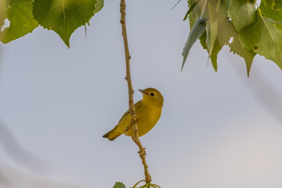 Female Yellow Warbler, (Setophaga Petechia)
