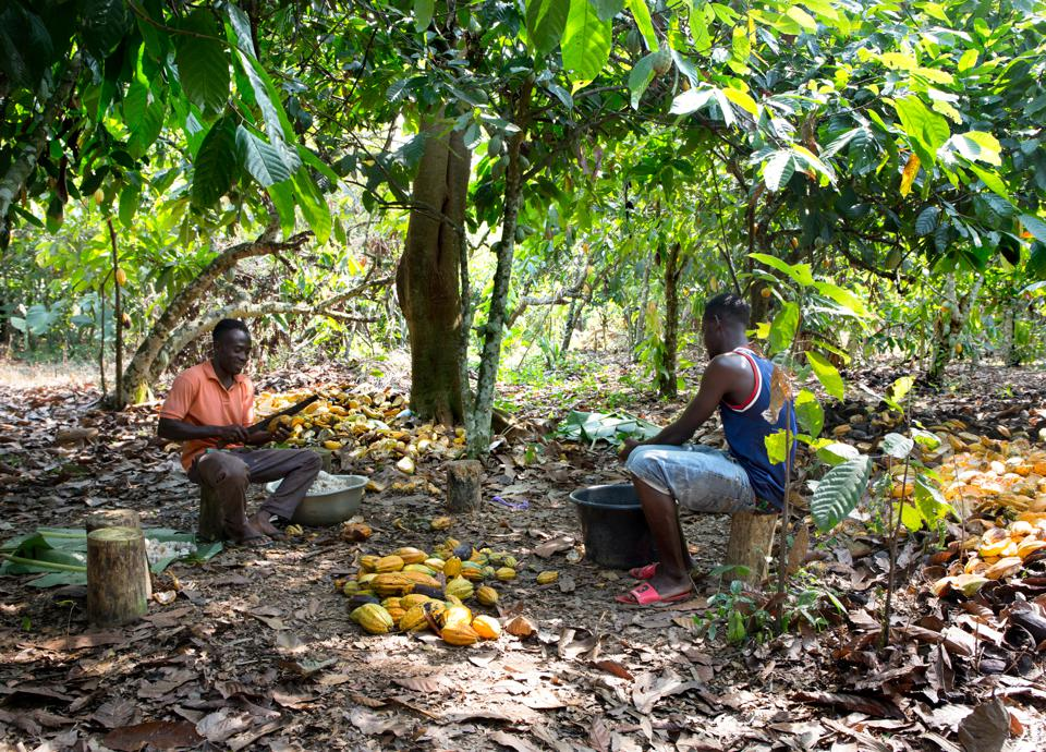Men shelling cacao in the forest