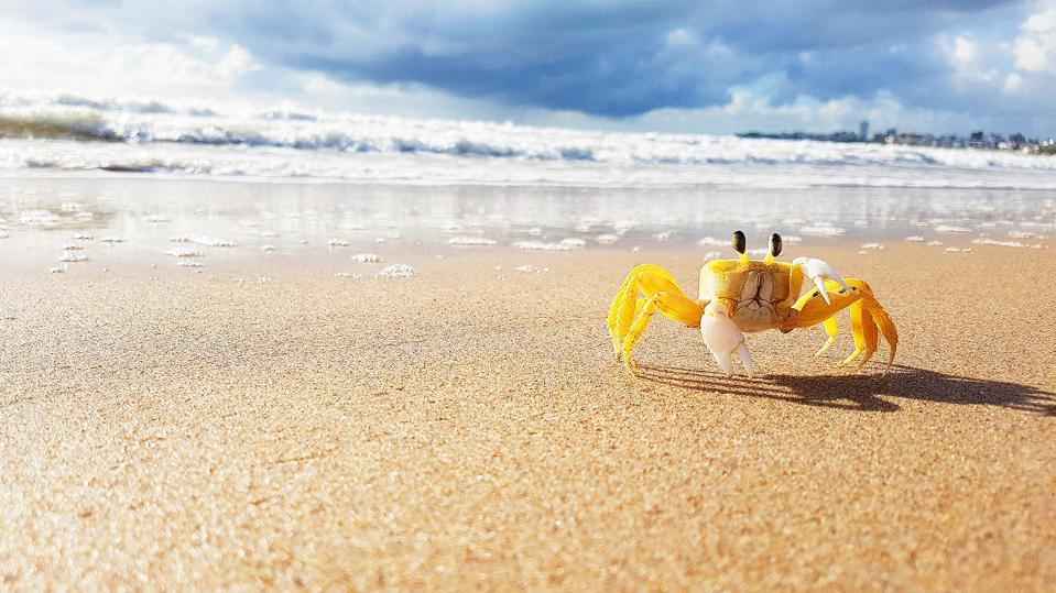little yellow crab