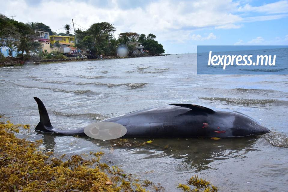 49 dead whales and dolphins washed up on the shores of Mauritius shortly after the oil spill