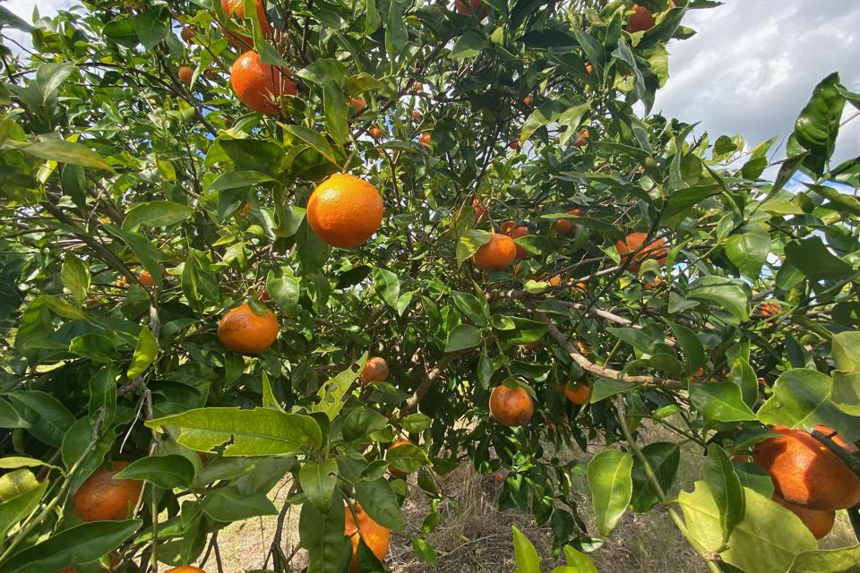 US-AGRICULTURE-CITRUS-BLIGHT