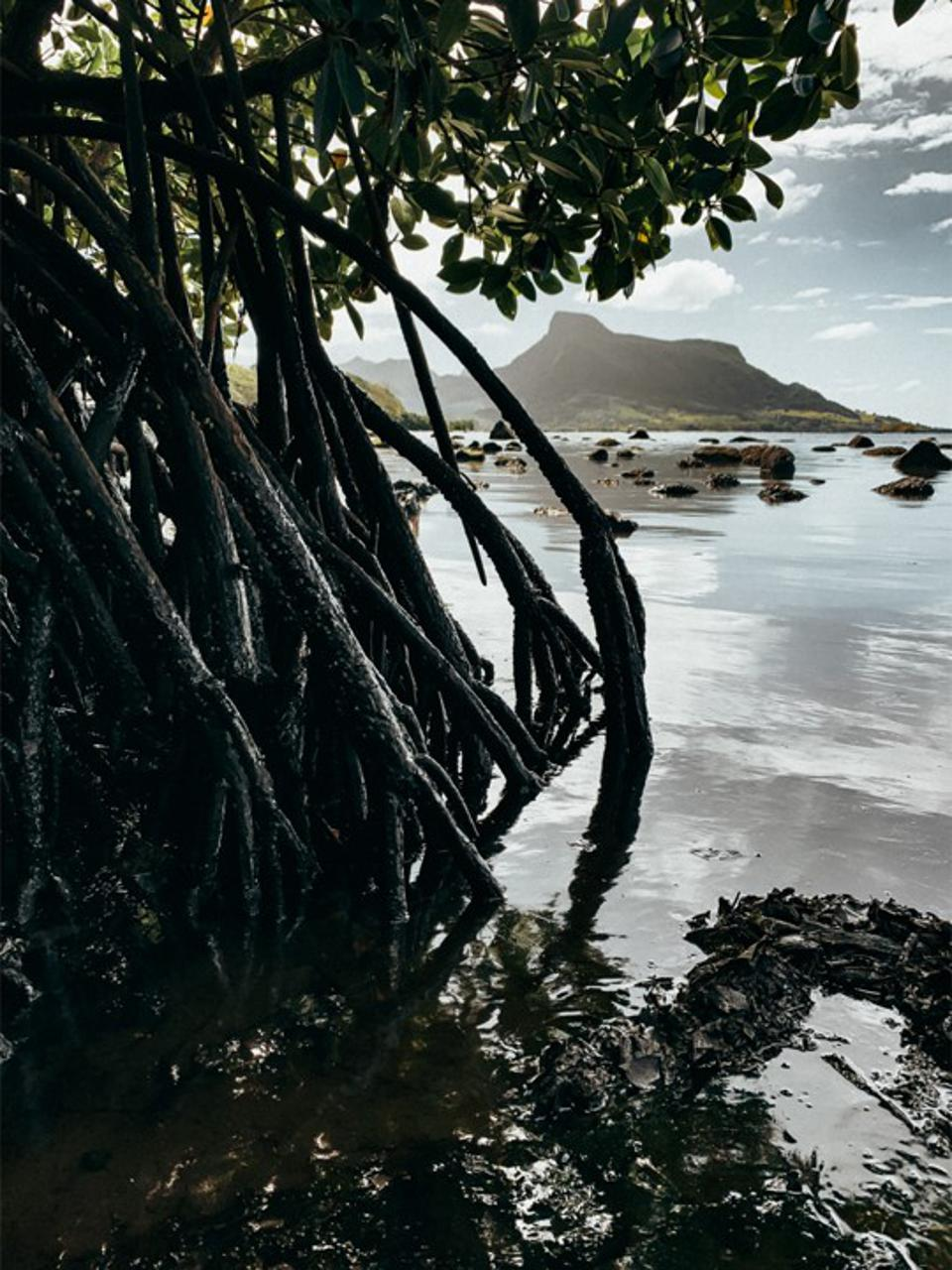 Mauritius has a range of different coastlines in the region of the oil spill.  Seen here is the oil-drenched mangroves of Point d'Esny with the famous Lion Mountain in the background.