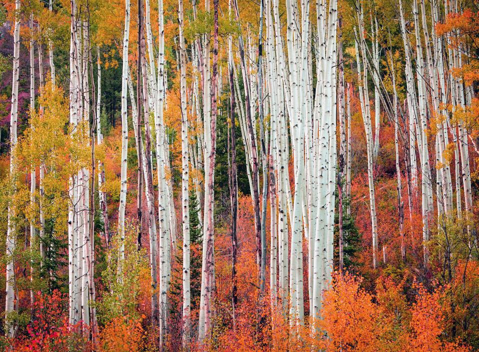 Colorful Fall Aspens, Colorado