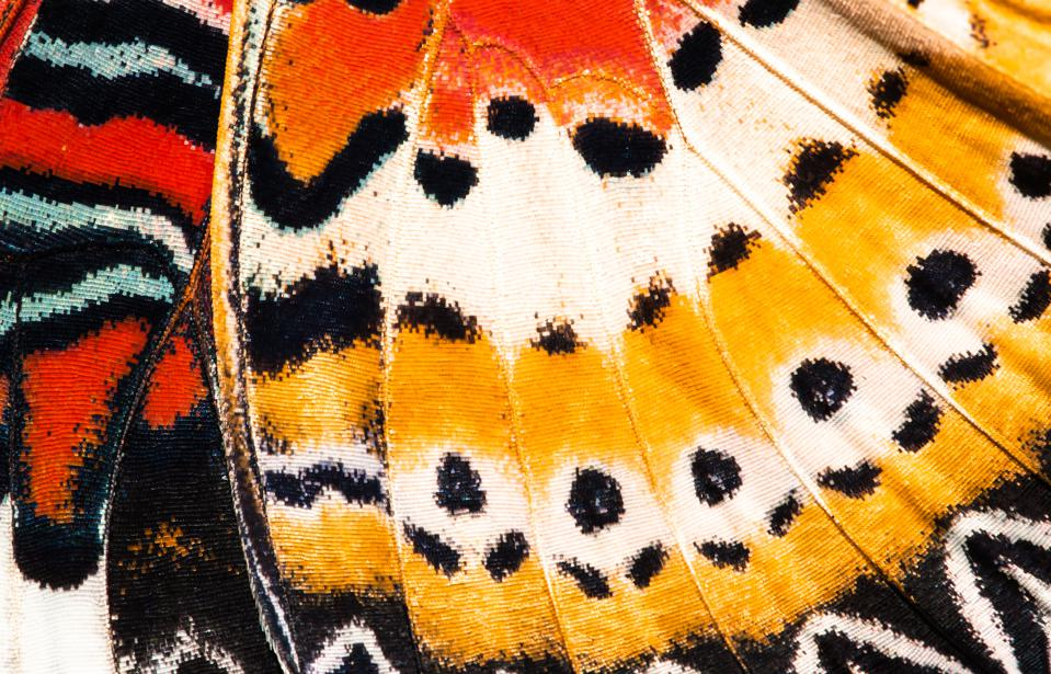 Leopard lacewing butterfly wing—colorful, beautiful, and hopefully not extinct.