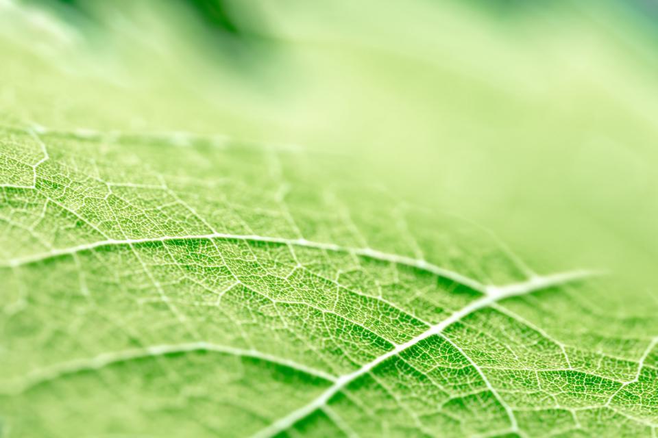 Green leaf vein textured shape of grape vine