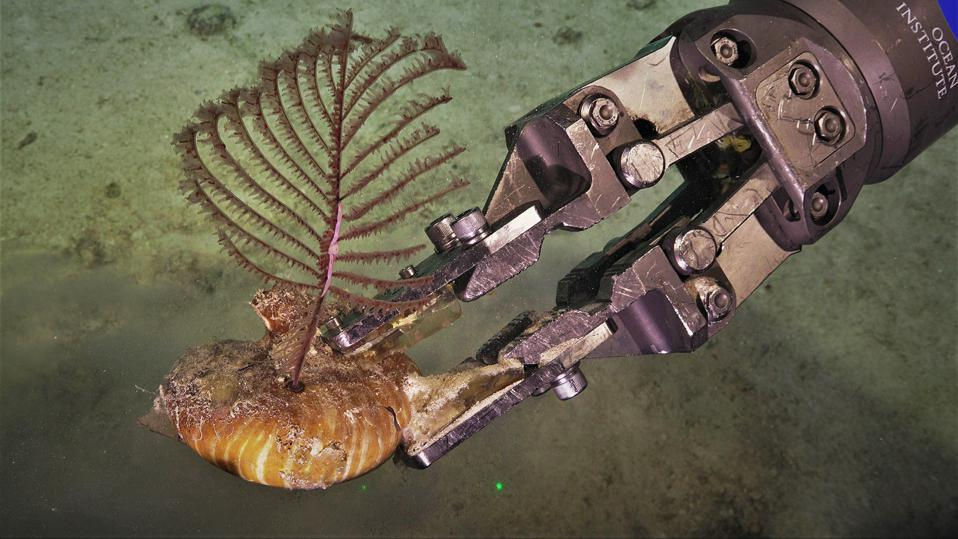 Black coral growing on a nautilus shell grasped by ROV SuBastian's manipulators