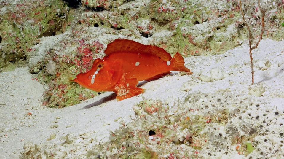 The bright orange fish, Rhinopias agroliba, sits on the sandy seafloor