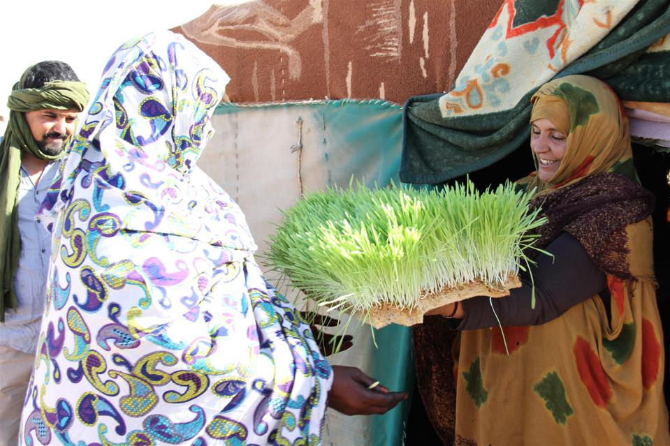 Refugees in the Sahara desert exchange lush green plants grown from hydroponics.